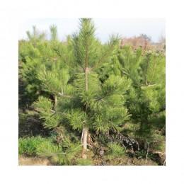 Borovice černá - Pinus nigra - BAL