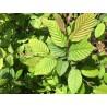 Habr obecný / Carpinus betulus / 30 - 50 cm KONT.
