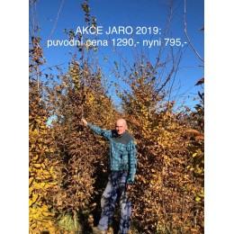 Habr obecný / Carpinus betulus / 3-4m ZEMNÍ BAL