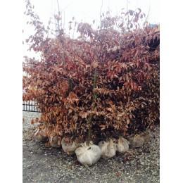 Habr obecný / BAL 125 - 150 cm / Carpinus betulus