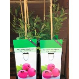 Borůvka / Vaccinium corymbosum Pink Lemonade
