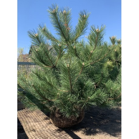 Borovice černá / ZEMNÍ BAL / - Pinus nigra 'Nigra'