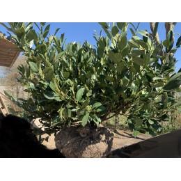 Bobkovišeň lékařská - Prunus laurocerasus MANO
