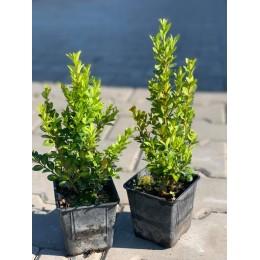 Zimostráz / Buxus sempervirens 10-25cm