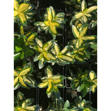 Brslen / Euonymus jap.GOLDEN QUEEN