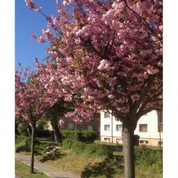 Okrasné třešně / Prunus ´Kanzan´ KM120cm