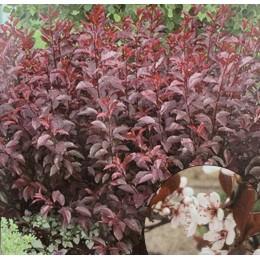 Myrobalán cistena / Prunus cistena KM80cm