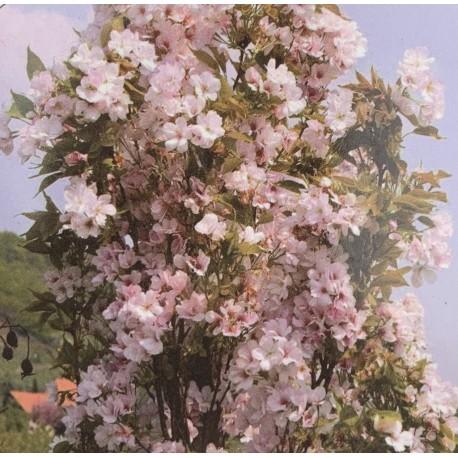 Okrasná slivoň / Prunus serrulata 'AMANOGAWA' KM100cm