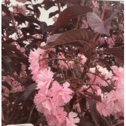 Sakura / Prunus serrulata ´ROYAL BURGUNDY´KM150cm