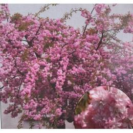 Okrasná třešeň / Prunus serrulata 'Kiku-Shidare-Zakura' KM180cm