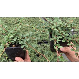 Skalník přitisklý / Cotoneaster adpressus 'Evergreen'