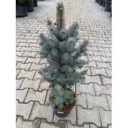 Smrk pichlavý / Picea pungens 'ISELI FASTIGIATE'