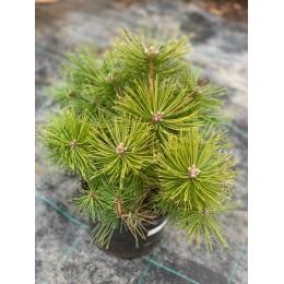 borovice hustokvětá Jane Kluis - Pinus densiflora Jane Kluis