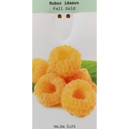 Malina žlutá / Rubus idaeus 'Fall Gold'