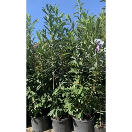 bobkovišeň lékařská Caucasica - Prunus laurocerasus Caucasica