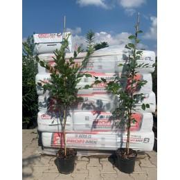Habr obecný / kontejnerované / 110 - 150 cm / Carpinus betulus