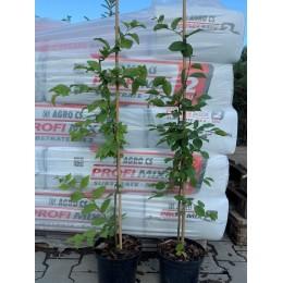 Habr obecný / kontejnerované / 100-120 cm / Carpinus betulus VYVAZOVANÉ