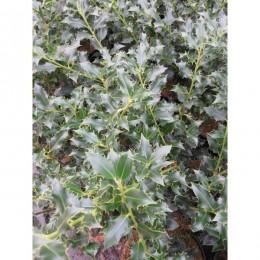 Cesmína ostrolistá / Ilex aquifolium